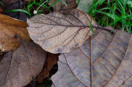 autumn dry leaf