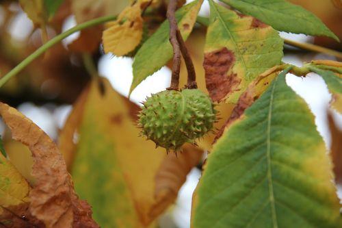 autumn chestnut buckeye