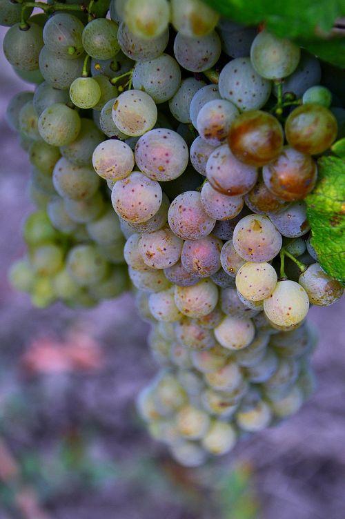 autumn grape bunch of grapes