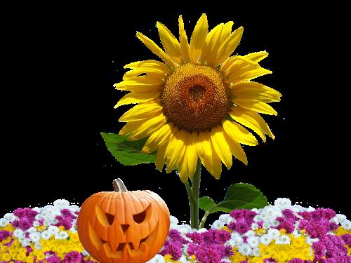 autumn asters autumn flowers