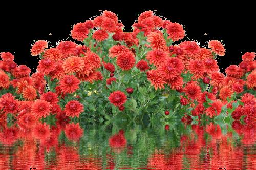 autumn dahlias autumn flowers