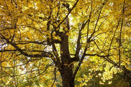 ruduo,geltona,lapai,geltonieji lapai,aukso ruduo,rudens lapas,auksinis,geltonas lapas,medis,miškas,kritimo spalvos,rytas ruduo,parkas,listopad,klevas