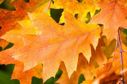 ruduo,lapai,kritimo lapija,aukso ruduo,lapai,gamta,miškas,filialai,trumpalaikis laikotarpis,spalvos pasikeitimas,medis,ruda,raudoni lapai,geltona,kritimo spalva,klevas,dažymas,rudens šviesa,klevo lapai,Uždaryti,oranžinė,šviesa,Spalio mėn,rudens spalvos,klevo lapas,rudens lapas,geltonas lapas,kritimo lapai
