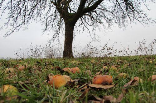 autumn apfelernte windfall