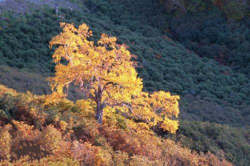autumn birch tree
