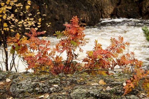 autumn rowan nature