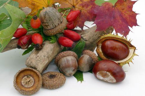 autumn chestnut acorns
