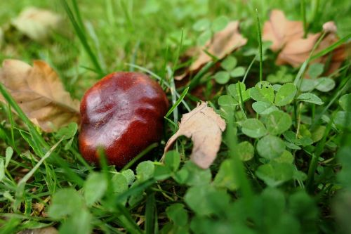autumn autumn leaf chestnut