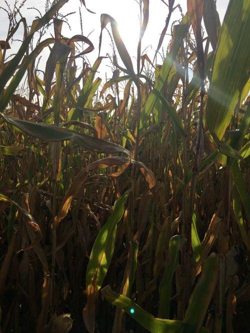 autumn corn corn on the cob