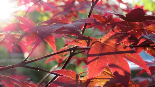 autumn japanese maple tree