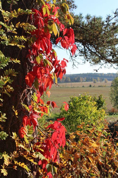 ruduo,raudona,spalvoti lapai,vynmedis,spalvos riaušės