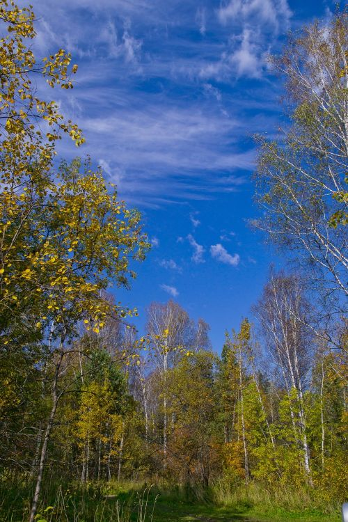 autumn siberian forest birch