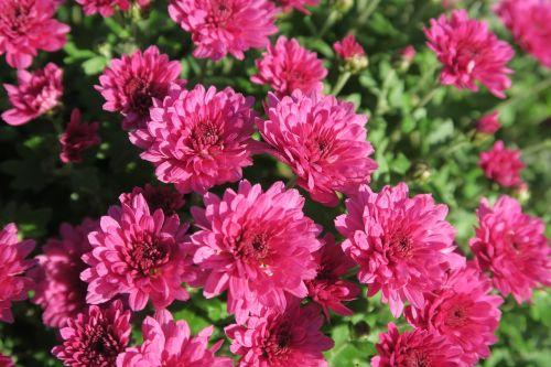 ruduo,gėlės,gamta,gėlė,augalas,augalai,chrizantema,spalvos,žydėjimas