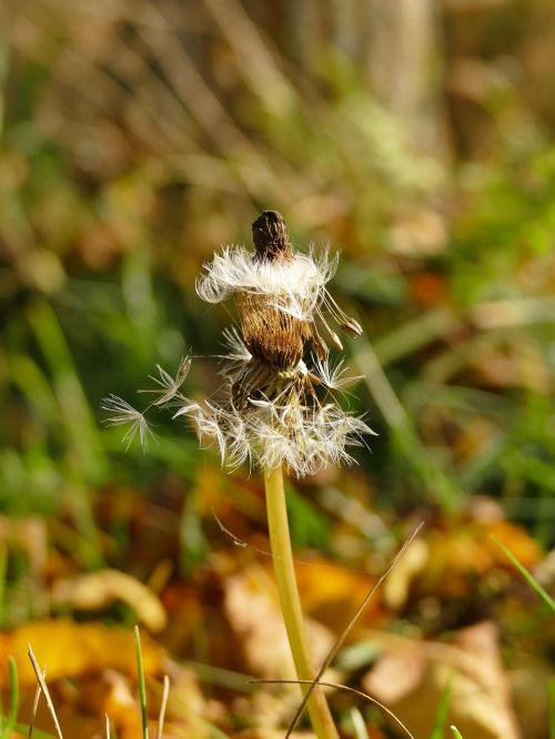 autumn nature dandelion