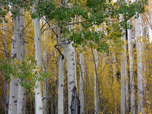 ruduo,medžiai,kritimas,lapija,krito medžiai,aspenos medžiai