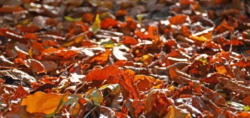 ruduo,lapai,kritimo lapija,aukso ruduo,gamta,miškas,raudona