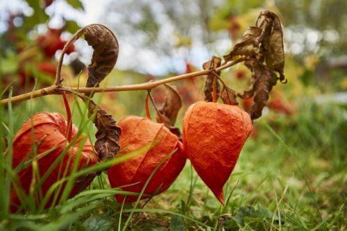 autumn physalis orange
