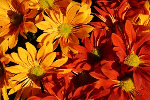 autumn asters colorful