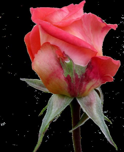 autumn rose bud