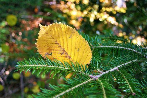 autumn yellow autumn foliage