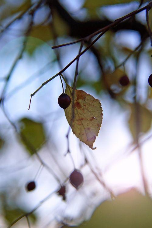 ruduo,nuotaika,lapija,sausas lapai,pasėlių,šviesa,rudens nuotaika,gamta,atostogos,rudens lapas,rudenį,rudens spalvos,rudens gamta,sezonas,fonas,raugintos lapelės,apšvietimas,augalinė gamta,lapuočių