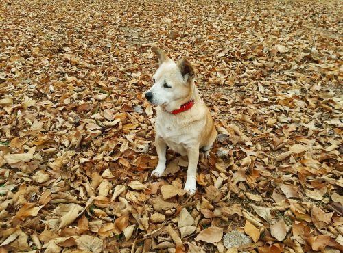 autumn,dog,pet,can,dry leaf,walk,forest,animals,nature,leaves,take a walk