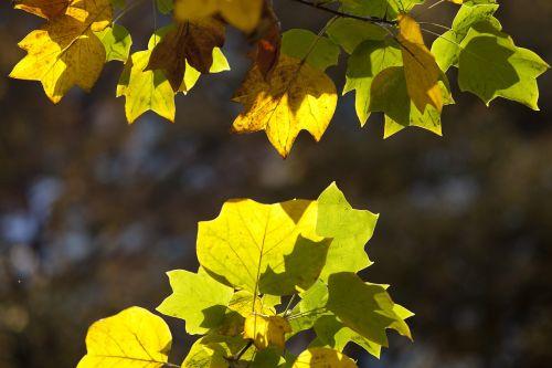 ruduo,rudens lapai,klevas,kraštovaizdis,lapai,lapai,gamta,saulės šviesa,lapai,mediena,plata one,šviesa