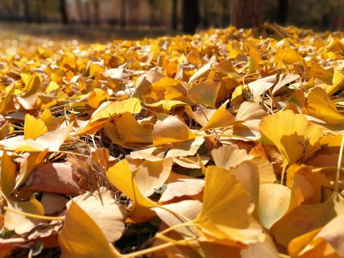 autumn ginkgo full yellow gold