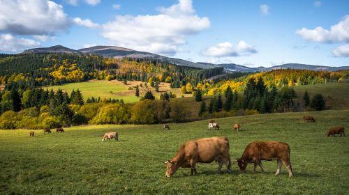 autumn nature cows