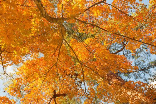 autumn leaf maple