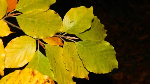 autumn beech leaves dark background