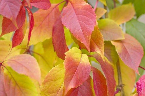 autumn  sheet  plant