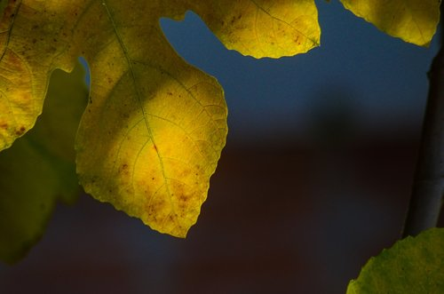 autumn  leaves  fig tree