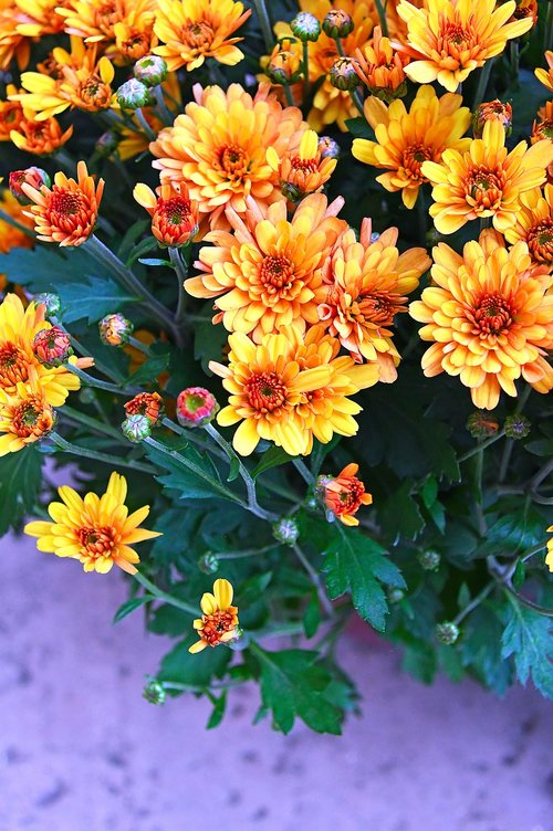 autumn  fall flowers  chrysanthemum