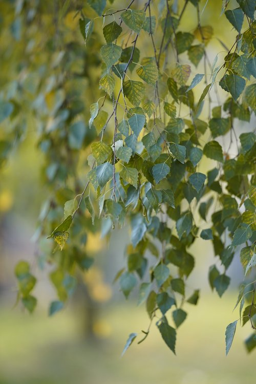 autumn  deciduous  plant