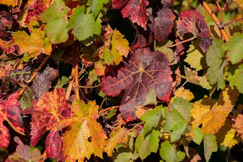autumn  leaves  grapes