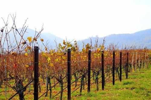 autumn  vineyards  landscape