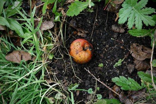 autumn  windfall  apple