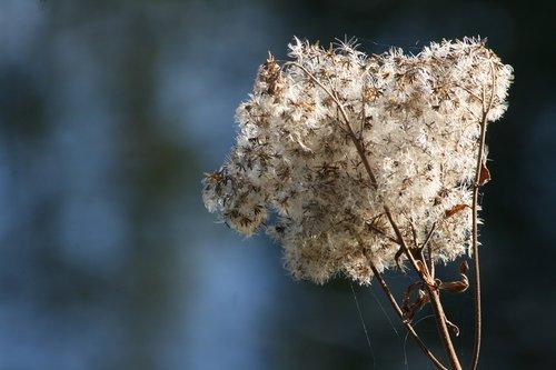 autumn  trockenblume  faded