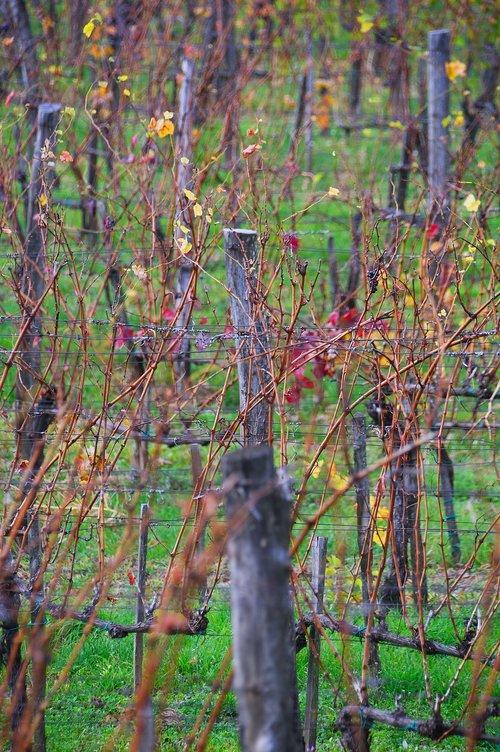 autumn  autumn landscape  autumn grapes