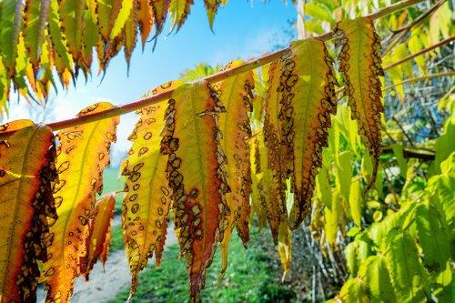 autumn  rhus  leaves