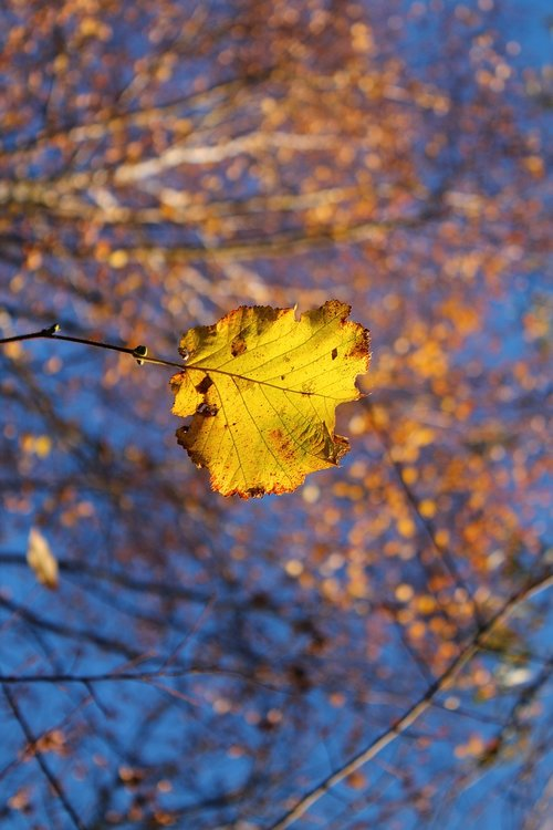autumn  leaf  yellow