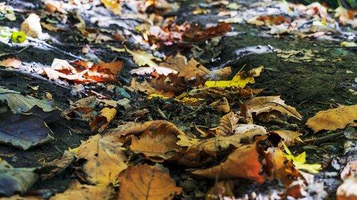 autumn  defoliation  the fall colors