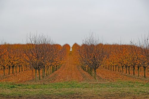 autumn  fruit trees  nature