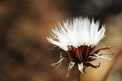 autumn flower fluff
