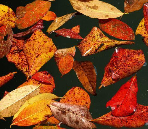ruduo,lapai,kritimo lapija,kritimo spalva,vanduo,tvenkinys,baseinai,plaukti