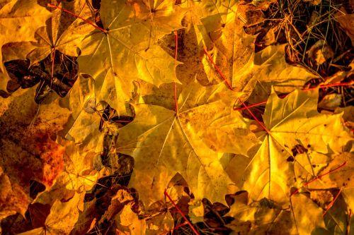 autumn maple fall colors