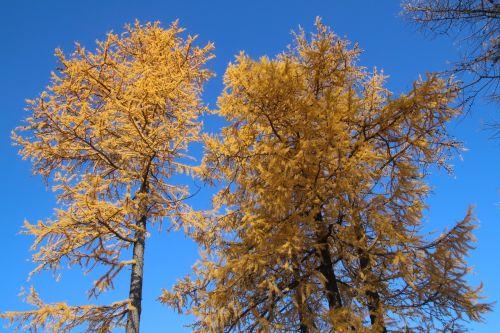 autumn trees larch