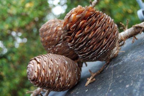 autumn acorn large