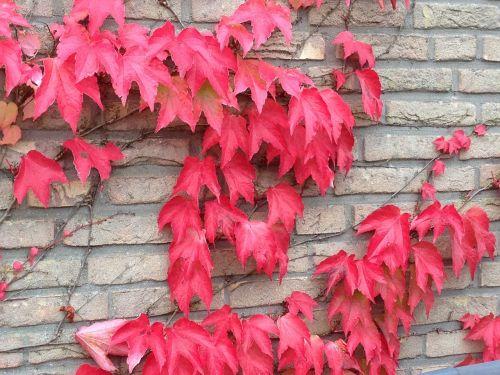 autumn fall leaves vine